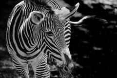 一匹斑马的画象在绿草背景的  库存照片