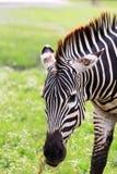 一匹斑马 免版税库存图片