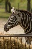一匹斑马 免版税库存照片