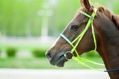 一匹栗子阿拉伯赛马的头在轨道特写镜头的 图库摄影