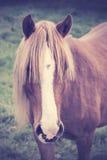 一匹栗子马的葡萄酒画象与长的foretop的 免版税库存照片