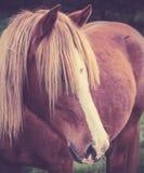一匹栗子马的葡萄酒画象与长的foretop的 库存图片
