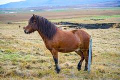 一匹棕色冰岛马在一个绿草草甸 免版税库存照片