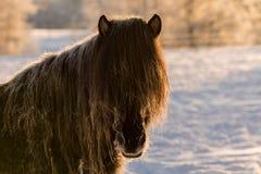 一匹棕色冰岛马的特写镜头与在fros盖的他的鬃毛的 库存照片
