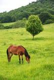 一匹棕色红色马在一个绿色领域吃草反对一棵美丽的树 免版税图库摄影