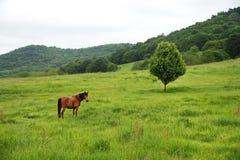 一匹棕色红色马在一个绿色领域吃草反对一棵美丽的树 库存照片
