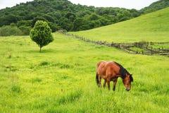 一匹棕色红色马在一个绿色领域吃草反对一棵美丽的树 图库摄影