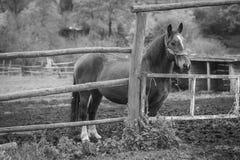 一匹棕色马在槽枥,一个黑白框架站立 免版税图库摄影