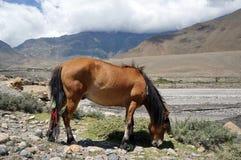 一匹棕色马在河岸吃草,反对喜马拉雅山的背景 免版税库存照片