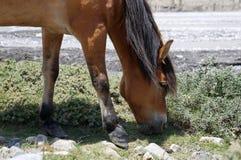 一匹棕色马在河岸吃草 库存照片