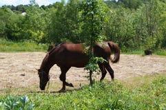 一匹棕色马在清洁吃草 免版税库存图片