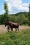 一匹棕色马在清洁吃草 库存图片