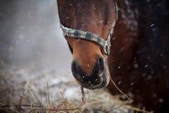 一匹棕色马的枪口在一个三角背心的有干草的 库存图片