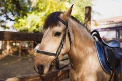 一匹棕色马的枪口 外部在秋天公园 库存照片