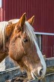 一匹棕色马的纵向 免版税库存照片