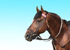 一匹棕色马的纵向 免版税图库摄影