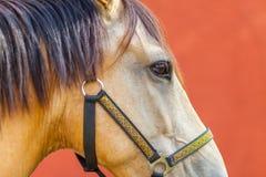 一匹棕色马的纵向 库存照片