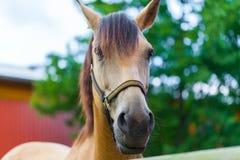一匹棕色马的纵向 图库摄影