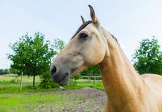 一匹棕色马的纵向 库存图片
