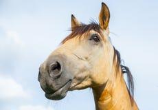 一匹棕色马的纵向 免版税库存图片
