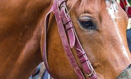 一匹棕色马的面孔在外形的与部分皮革鞔具勒住与聪明的眼睛 免版税图库摄影
