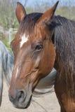 一匹棕色马的画象从托斯卡纳的 库存图片