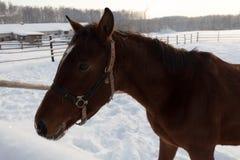 一匹棕色马的Potrait在冬时的 图库摄影