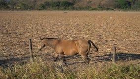 一匹棕色马通过乡下平安地走在Mascota哈利斯科州墨西哥不可思议的镇  影视素材