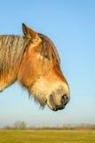 一匹比利时马的画象 图库摄影