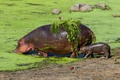 一匹河马和她的婴孩在克留格尔国家公园 免版税库存照片