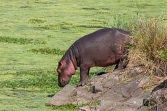 一匹河马在克留格尔国家公园 免版税库存图片