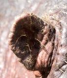 一匹河马的耳朵本质上 库存照片