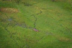 一匹河马的鸟瞰图在水中 库存图片