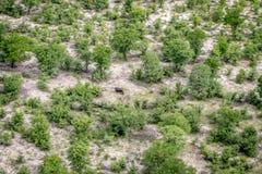 一匹河马的鸟瞰图在Okavango三角洲的 免版税库存图片