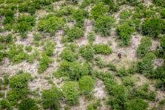 一匹河马的鸟瞰图在Okavango三角洲的 库存照片