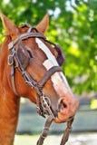 一匹海湾在眼睛的马和马眼罩的头与辔的 库存照片