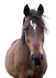 一匹海湾马的画象在白色背景的 免版税库存照片