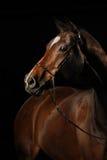 一匹海湾马的画象在黑背景的 免版税库存照片