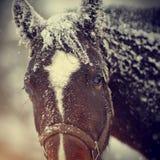 一匹湿哀伤的棕色马的枪口在雪的 免版税库存图片