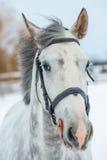 一匹灰色良种马的画象在冬天 图库摄影