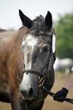 一匹灰色良种lipizzaner马的顶头射击 免版税库存照片