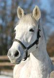 一匹灰色马的特写镜头在小牧场 免版税库存照片