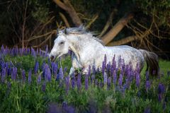 一匹灰色马的画象在凶猛花中的 免版税库存照片