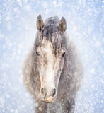 一匹灰色马的画象在冬天雪的 库存图片