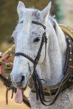 一匹灰色马的画象在显示舌头的鞔具的 库存照片
