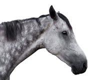 一匹灰色马的画象在白色背景的 免版税库存照片