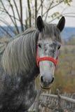 一匹灰色马的画象 免版税库存照片