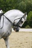 一匹灰色驯马体育马的特写在行动的 免版税库存图片