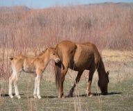 一匹狂放的鹿皮色的母马和她的马驹 免版税库存图片