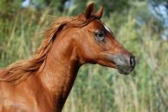 一匹疾驰的幼小阿拉伯公马的侧视图画象在舞步的 免版税库存图片